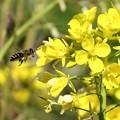 蜜蜂&菜の花_8892