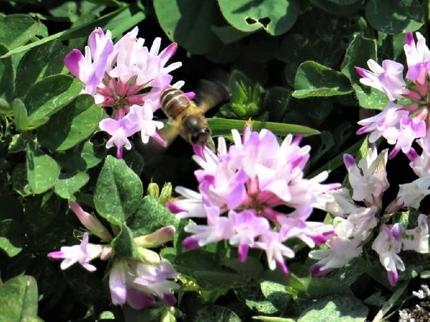 レンゲ草&蜜蜂_0274