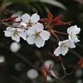 山桜開花_0795