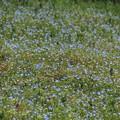 オオイヌノフグリの群生_0806