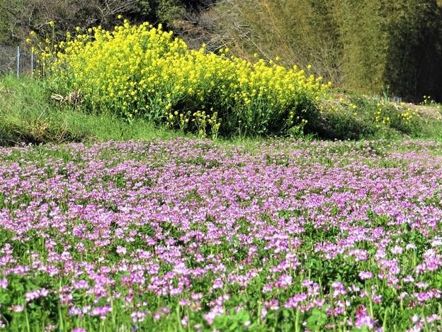 レンゲ畑&菜の花_1087