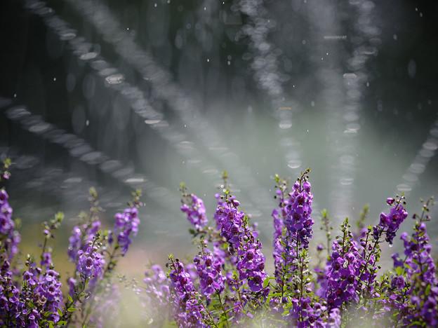160812_山梨県立フラワーセンター「ハイジの村」_散水<?>_F812A9702_MZD300P_X6As
