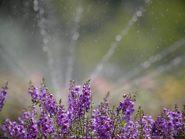 160812_山梨県立フラワーセンター「ハイジの村」_散水<?>_F812A9938_MZD300P_X6As