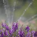 Photos: 160812_山梨県立フラワーセンター「ハイジの村」_散水<?>_F812A9938_MZD300P_X6As
