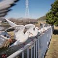 Photos: 170118_藤沢・引地川親水公園_羽ばたき<ユリカモメ>_G170118A8895_MZD12ZP_X7Ss