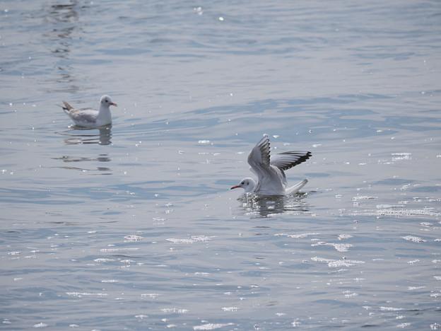 170301_茅ヶ崎・柳島海岸_着水<ユリカモメ>_G170301C3811_MZD300P_X7Ss