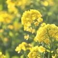 Photos: 寒咲き花菜