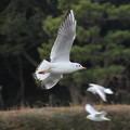 写真: 飛んでいる鳥を見ると撮りたくなります