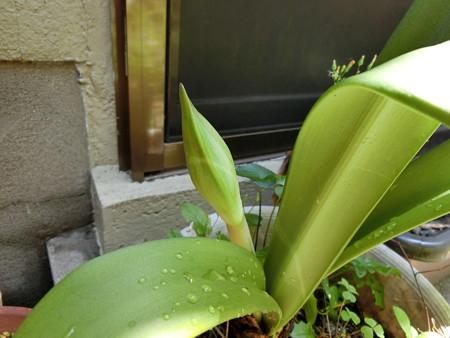 花茎が伸びてきたアマリリス