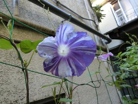 紫の絞りの朝顔