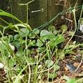 Photos: ツマグロヒョウモンの幼虫、大発生1