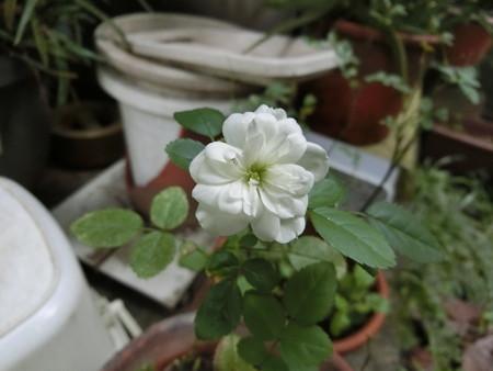 ミニバラも開花