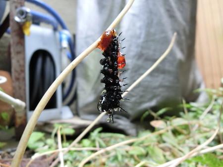 雨の中蛹になろうとしている幼虫