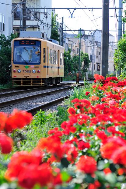 赤いバラが咲く沿線