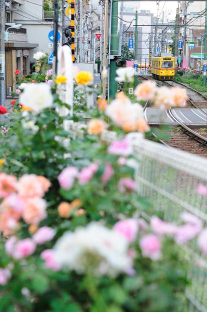 薔薇祭りの中を行く