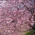 Photos: 河津桜?