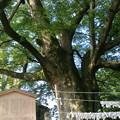Photos: 金沢のパワースポット、県内イチの大木だよ  #神明の大ケヤキ