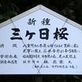 Photos: 新品種・三ヶ日桜
