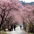 Photos: 桜のトンネル