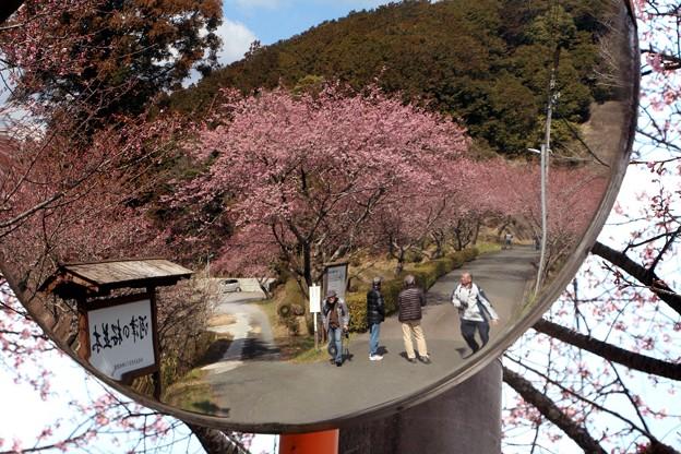 カーブミラーに映し出す河津桜