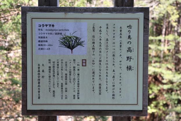 「唸り島の高野槇」説明板