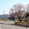 愛知県道69号豊橋乗本線の脇に咲く「今水桜」