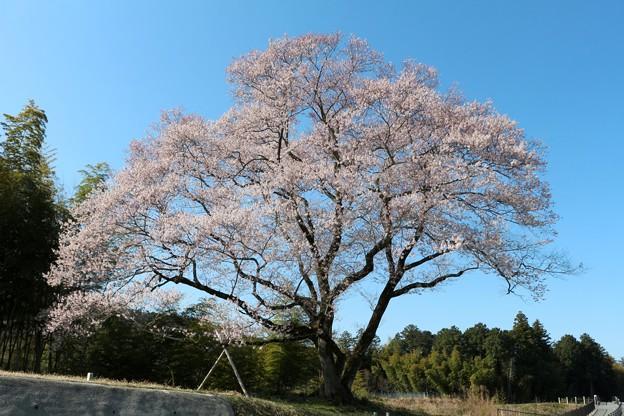 巨木の一本桜「今水桜」