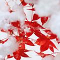 写真: 雪の向こうは、まだ秋