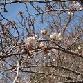 Photos: 17年4月3日の桜4