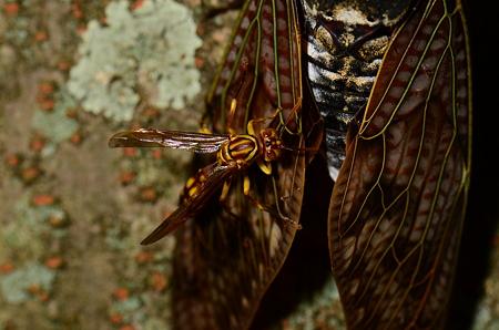 スズメバチ科 ムモンホソアシナガバチ♀