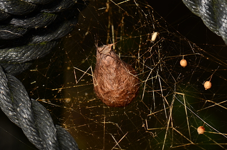 コガネグモ科 ナガコガネグモ卵のう
