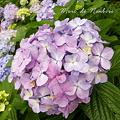 Photos: 紫陽花42011.06.18不忍池