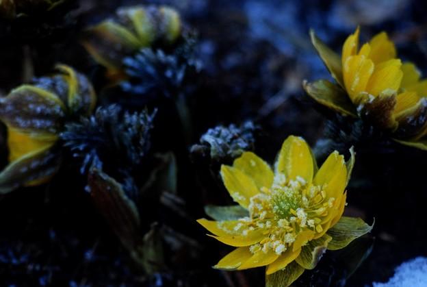 -15大霜に咲くな福寿草
