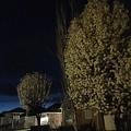 Photos: 夜梨