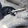 写真: 破壊された展示施設の破片で遊ぶマレーグマ