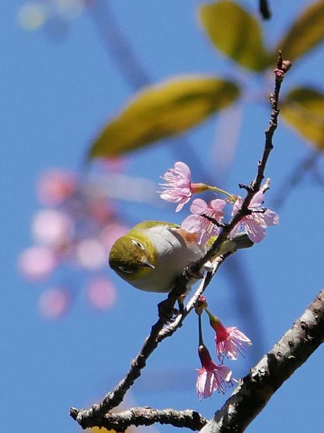 Photos: チョウセンメジロ(Chestnut-flanked White-eye) P1090653_RS