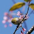 写真: チョウセンメジロ(Chestnut-flanked White-eye) P1090653_RS