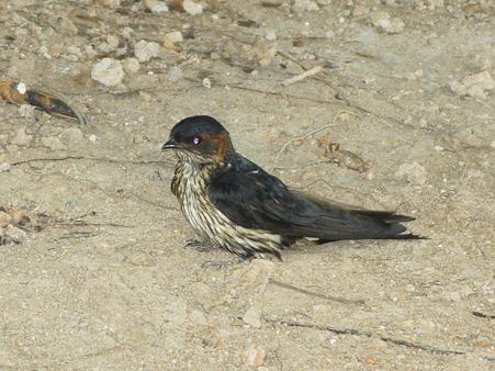 オオコシアカツバメ(Striated Swallow) P1140010_R