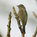 写真: アリスイ(Eurasian Wryneck) O1000469_R