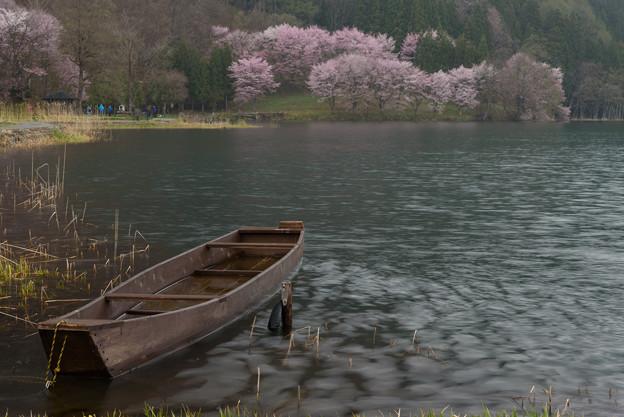 中綱湖の桜20160424
