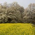 白馬村の桜巡り(四十九院のこぶし)
