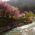 白馬村の桜巡り(大出の吊橋)