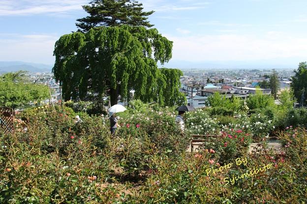 双松公園 バラ園~南陽市を望む