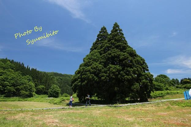 Photos: トトロの木