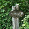 Photos: 小杉の大杉