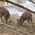 写真: 鹿相撲