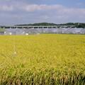 黄金の稲畑