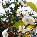 梅と柑橘類