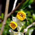 水仙の果て