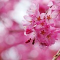 写真: ピンクに染まる